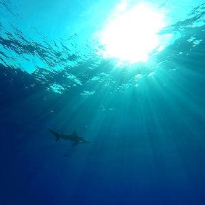 Valkopilkkahai ui Punaisessameressä