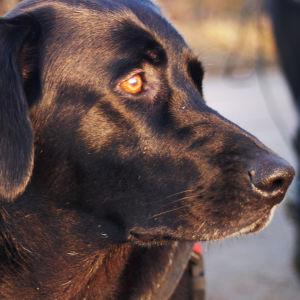 Bonita-koiraa koulutetaan etsintäkoiraksi.