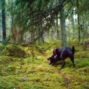 Koira voi tuulen suunnasta riippuen saada vainun jopa 200m päästä.