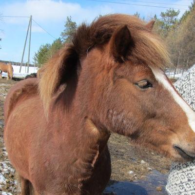 Raatesalmen uusi isäntä Vesa Varpa opettelee hevosenhoitoa.