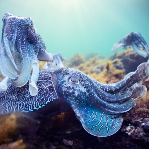 Vaaleansinisiä mustekaloja koralliriutalla.