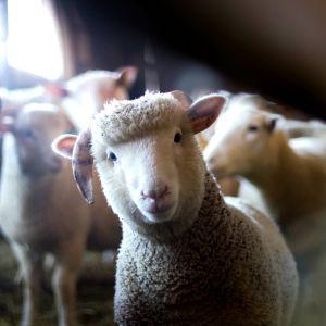 Uteliaana kameraa kohti tuleva lammas