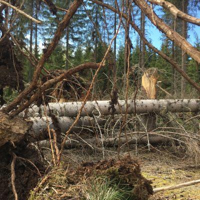 Kaatunut koivu, juuriltaan irronnut puu.