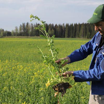 Maanviljelijä Juuso Joona esittelee rypsiä.