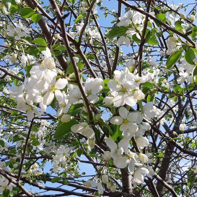 Omenapuun kukat kukkivat komeasti kesäkuussa Rovaniemen Lehtojärvellä.