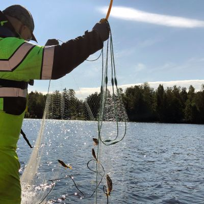 Mies nostaa koekalastusverkkoa.