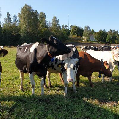 Maanviljelijä Helena Pesonen rapsuttaa lehmiä laitumella.