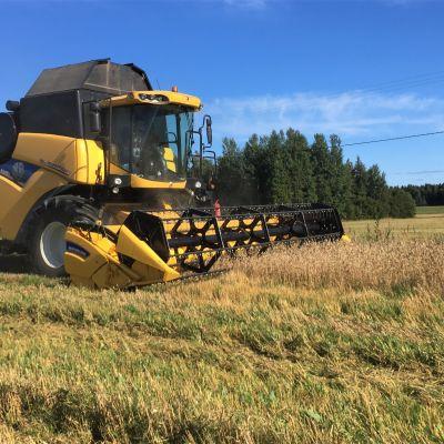 Viljan puintia vehnäpellolla Liperissä syyskuun alussa.