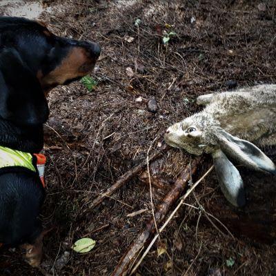 rusakko ja koira