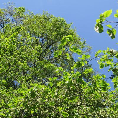 Kynnepään lehto on saanut nimensä massiivisesta, Suomessa harvinaisesta kynäjalavayksilöstä.