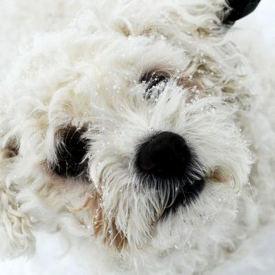Bichon frisé-hund i snön.