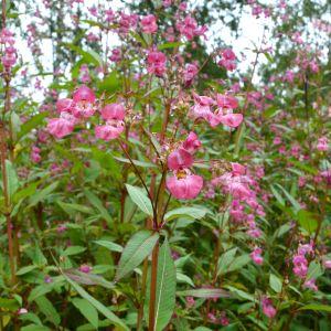 Rosa blommor i närbild