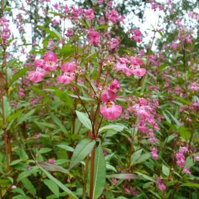 Vaaleanpunaisia jättipalsamin kukkia.