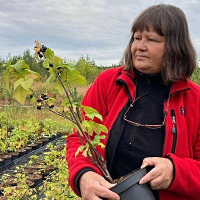 Sisko Ainassaari pitelee käsissään mustaherukan taimea.