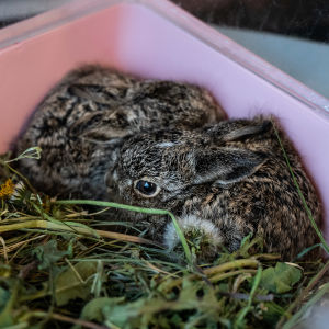 Två harungar i en bur.