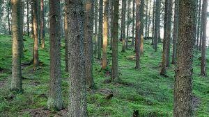Raka tallstammar i en skog med grön mossa på marken.