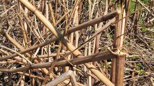 Torkade rör av flockblommiga växter som lämnats i en park.