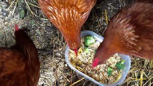 Kanat ruokakipolla