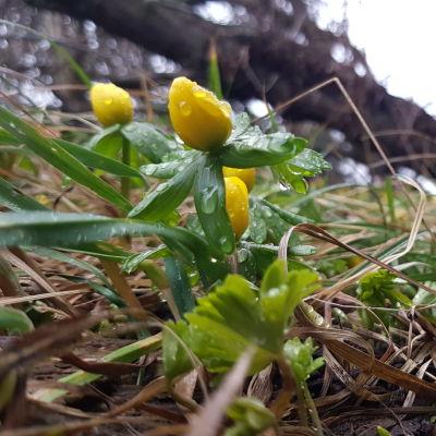 Keltaisia kukkia Utössä 28.1.2020.