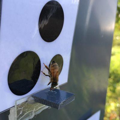 Mehiläinen laskeutuu hakemaan sokerivettä symbolikortin äärellä