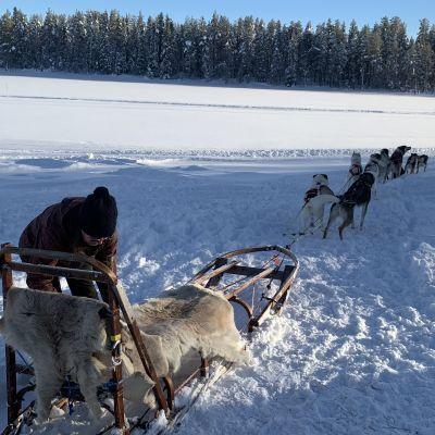 En kvinna spänner för ett hundspann i ett vintrigt landskap