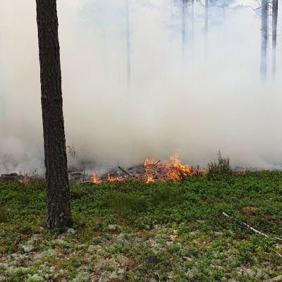 En bild från en markbrand. På bilden syns gräs och låg vegetation brinna och träd brinner.