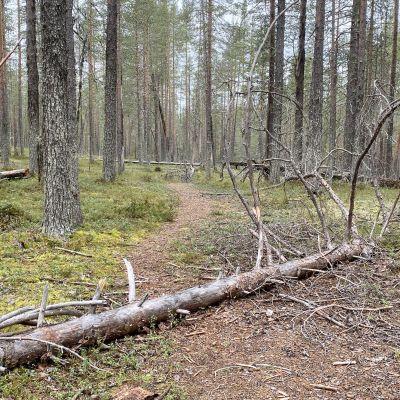 Kaatunut puu polulla Hossan kansallispuistossa.