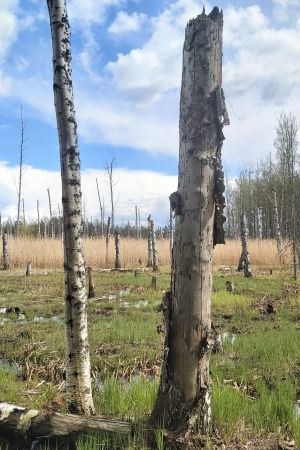 Nedhuggen björkskog med högstubbar.