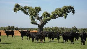 Mustia härkiä niityllä, puun ympärillä, Espanjan maaseudulla.