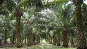 Monokulttuurinen öljypalmuplantaasi Malesiassa.