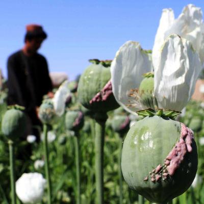 Närbild på en vallmoknopp på en vallmoodling med en jordbrukare i bakgrunden.