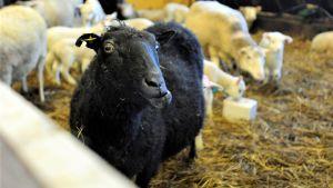 En svart tacka och flera vita får och lamm i fårhus