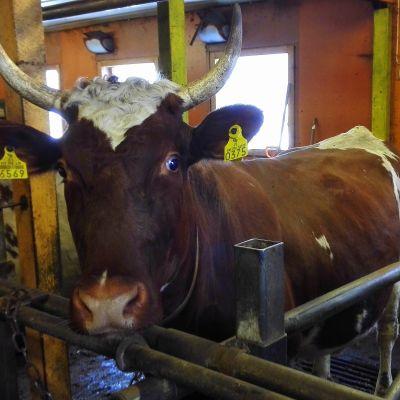 Lehmä odottaa  rehua navetassa.