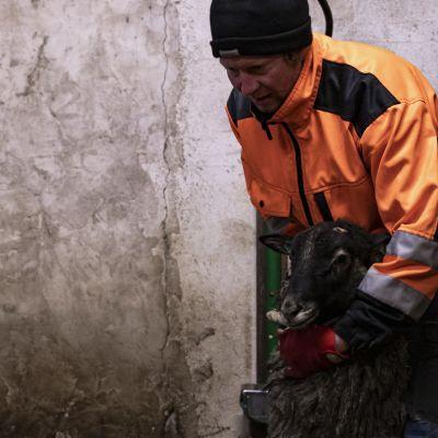 Antti Heikkinen taluttaa lammasta kuljetukseen.