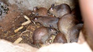 Ruoaksi kasvatettavia rottia laatikossa