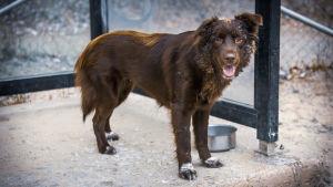 Ruskea koira koirapuistossa.
