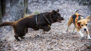 Kaksi koiraa juoksee koirapuistossa.