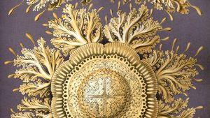 Discomedusae 28 av Ernst Haeckel