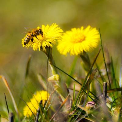 Tussilagon får besök av en insekt.