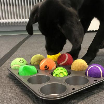 Labradorinnoutaja Haili tonkii palloja muffinssivuoasta.