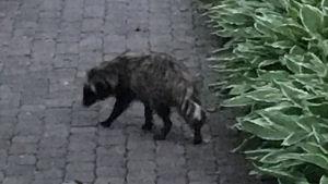 En mårdhund smyger omkring på en gårdsplan i Smedsby.