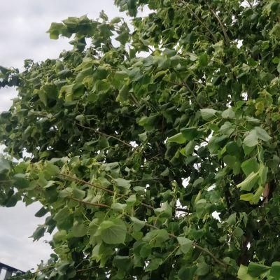 Tuuli heiluttaa puun latvaa.