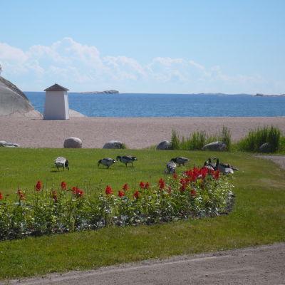 Vitkindade gäss går på Casinostranden i Hangö.
