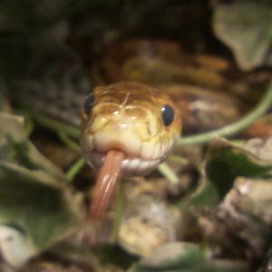 viljakäärme kieli ulkona