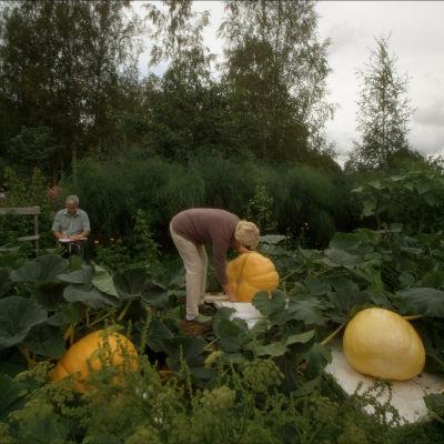 Pirjo ja Markku mittaavat kurpitsoja