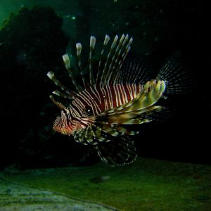 Drakfisk (Lionfish)