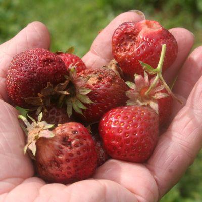 Mansikanviljelijä Ismo Ruutiainen pitää kädessä mansikoita, jotka ovat homehtuneet sateessa.