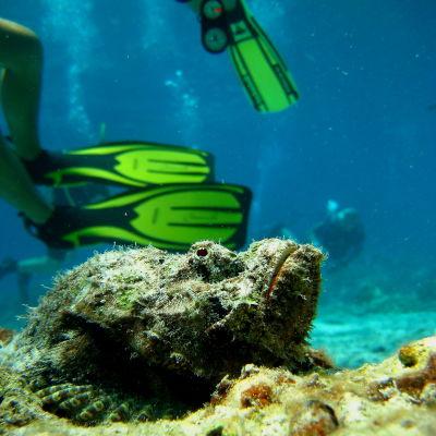 Stenfisk (Stonefish) i Thailand