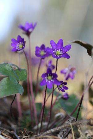 Blåsippa i full blom