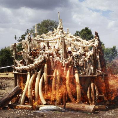 Etiopien bränner upp sitt lager av elfenben för att motverka tjuvskytte och illegal handel.